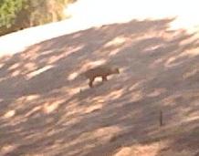 20100528 Bobcat Hunting Moles3.jpg
