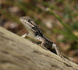 Lizards Save California from Lyme Disease Hillman Foundation