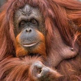 Orangutang Google Search