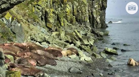 Walrus Cam Round Island Oceans explore