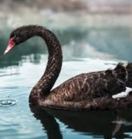 Black swan Google Search