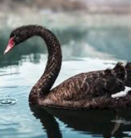 Black swan Google Search