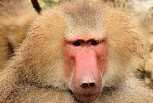 Baboons Google Search